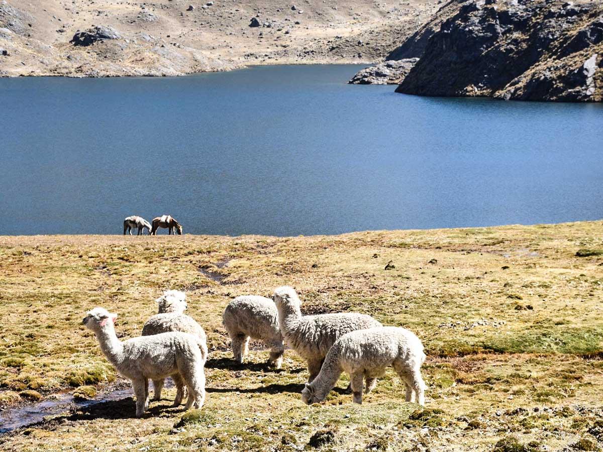 Llama Alpaca Tierras Vivas