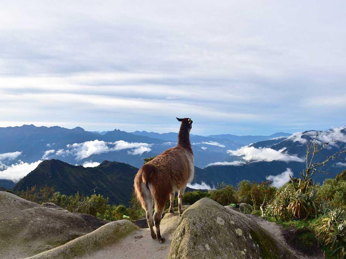 Llama and Alpaca at Machu Picchu