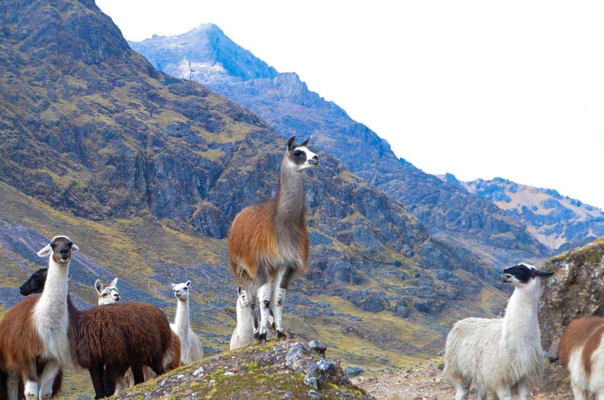 Machu Picchu llama or alpaca